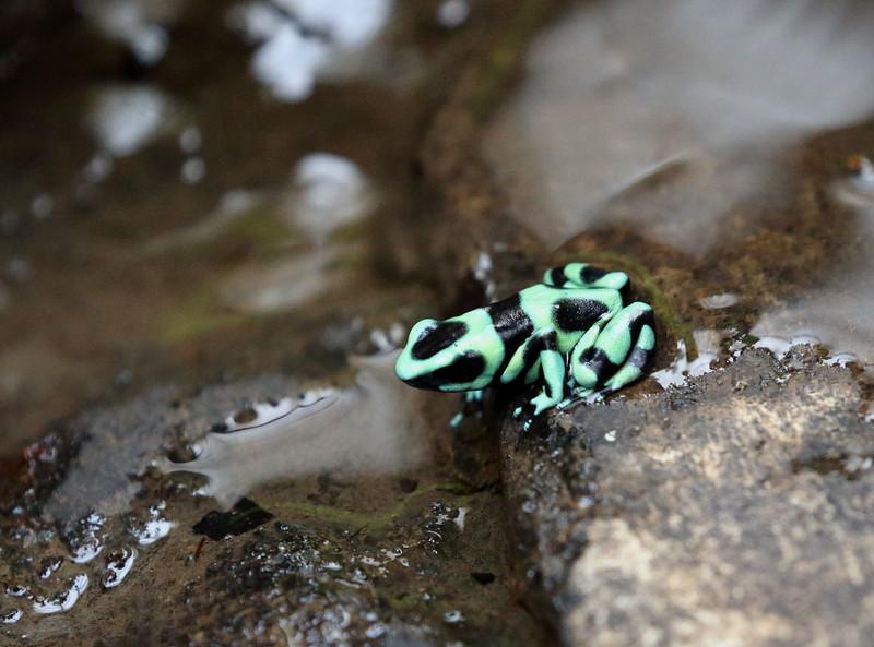 Poison Dart Frog.jpg