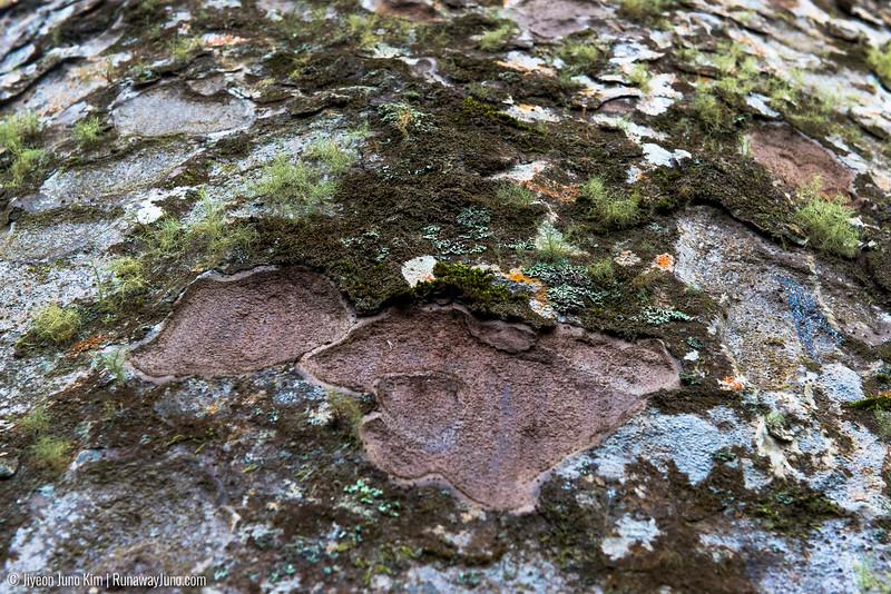 Kauri tree detail