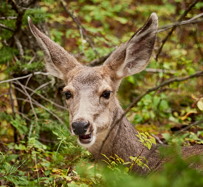 You could probably guess by the ears but this is a mule deer