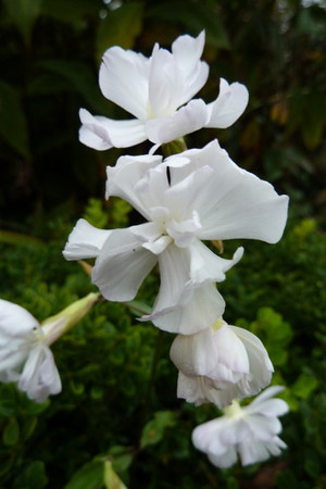 Saponaria officinalis 'Flore Pleno'.jpg