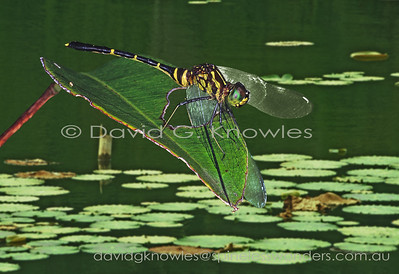New Guinea Odonata (Damselflies and Dragonflies)