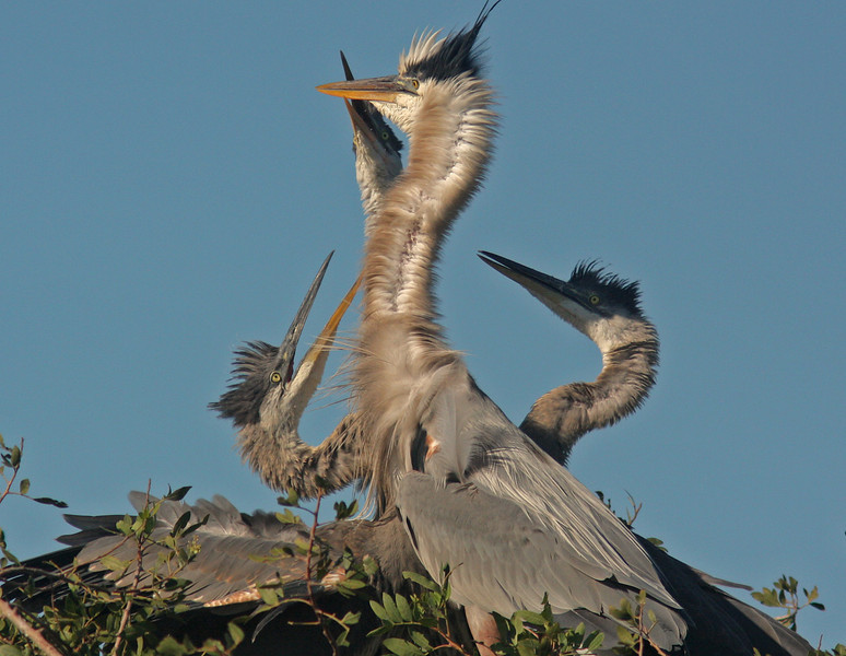 Great Blue Heron Juveniles and parent, Venice Rookery, Venice Florida