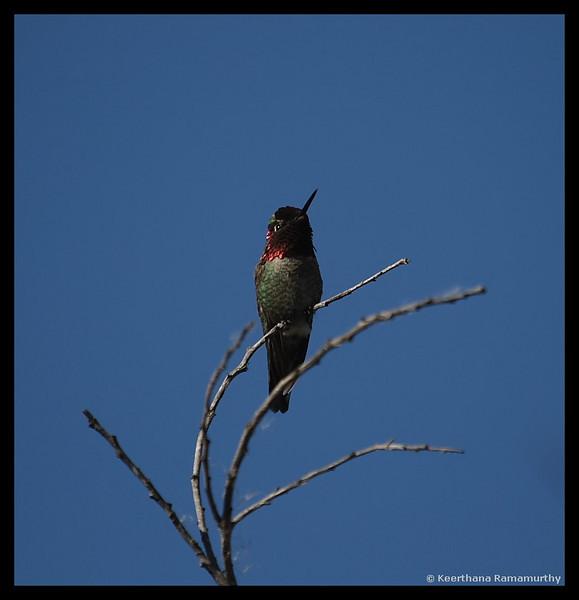 Anna's Hummingbird, Buccaneer Park, San Diego County, California, January 2009