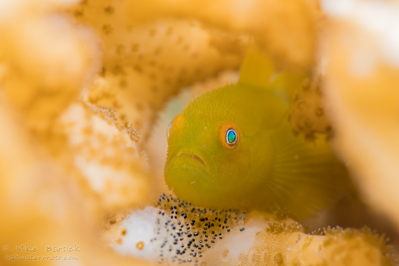 Bearded goby with eggs_850 (1 of 1).jpg
