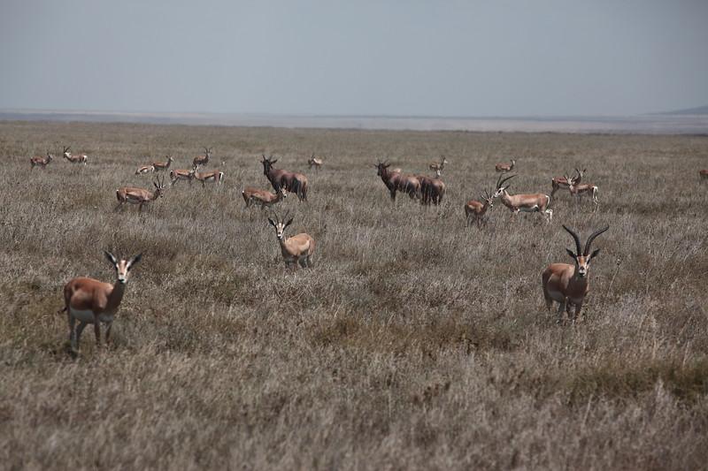 Gratn's Gazelles and  Topi.JPG