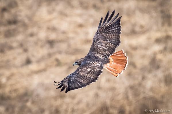 Hawkwatch: Jenner Headlands