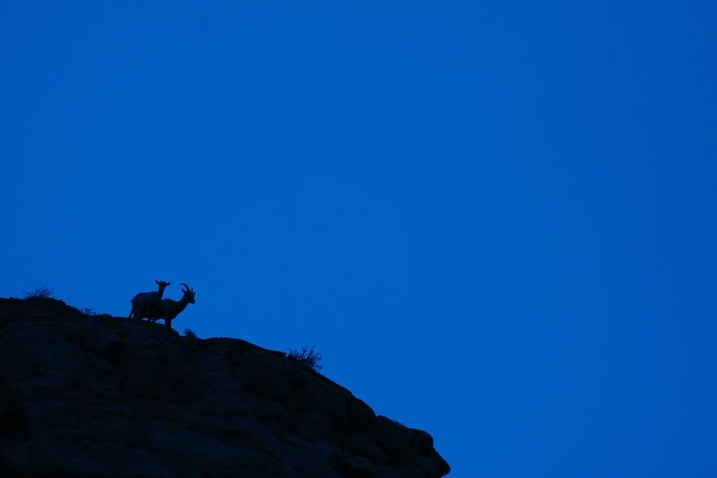 Bighorn Sheep pair silhouette Yellowstone _MG_3104.jpg