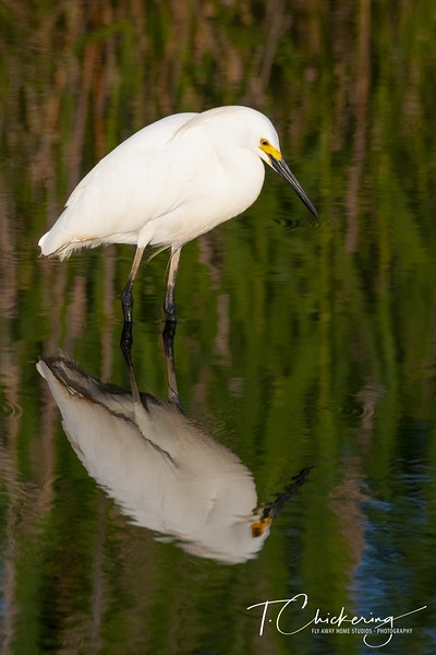 Snowy Egret with Reflection Five.jpg