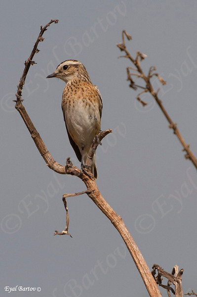 Whinchat (Saxicola rubetra) דוחל חום גרון