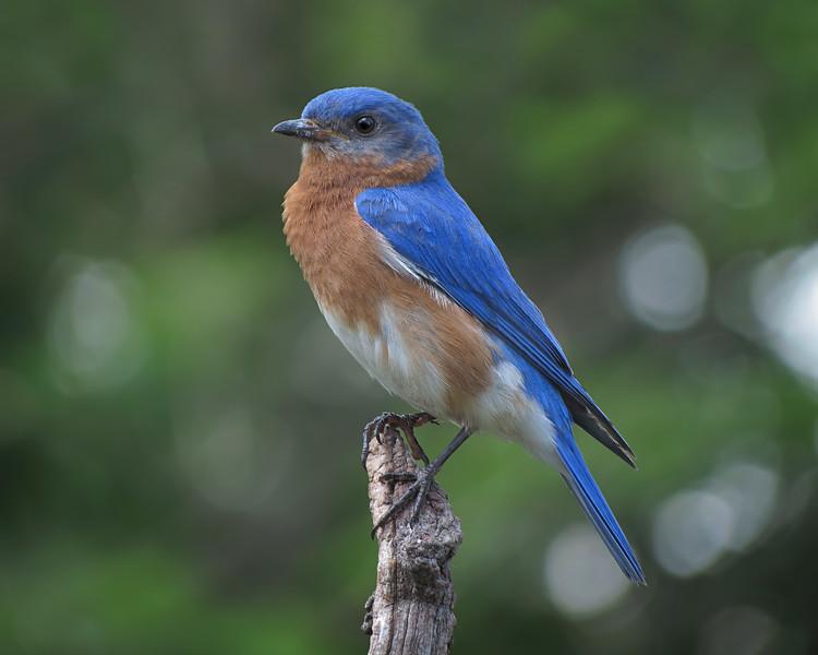 sx40_bluebird_ben_boas_025.jpg