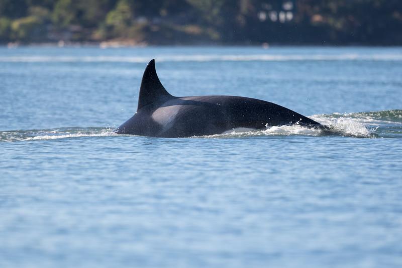Orcas -  073115-390.jpg