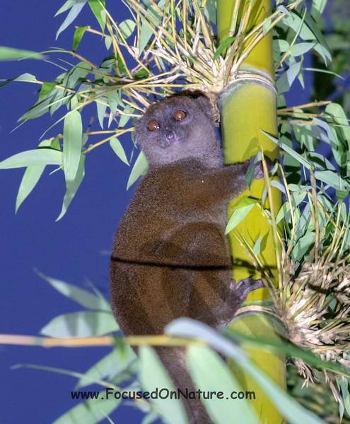 Western Lesser Bamboo Lemur