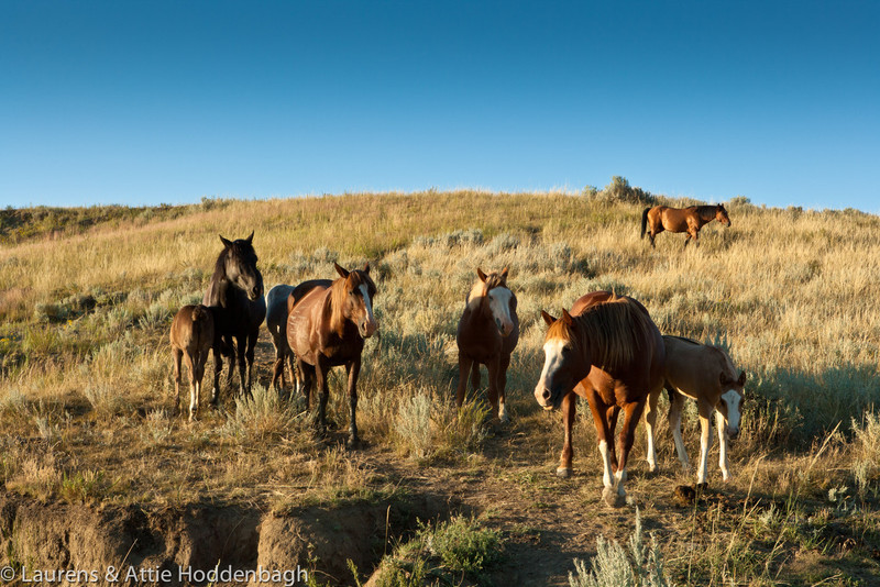 Wild Horses in Theodore Roosevelt Nat'l Park, ND  Filename: CEM009306-TRNP-ND-USA.jpg