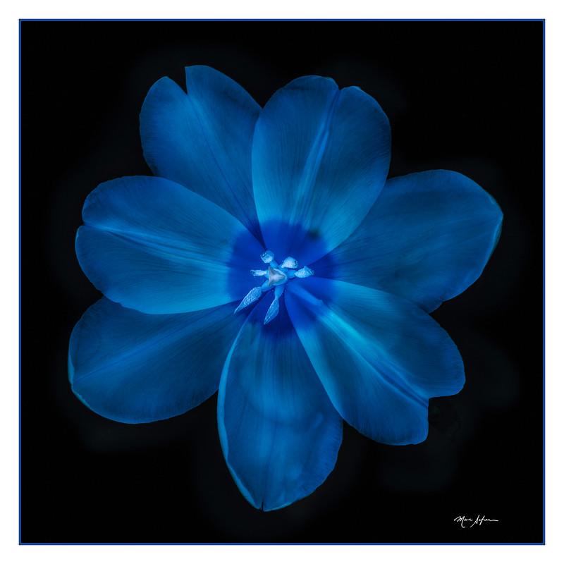 Tulip  Blue.jpg
