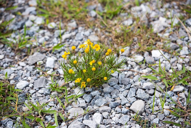 Yellow Lousiana Flower