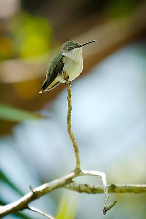 Little hummingbird_DSC_6854.jpeg
