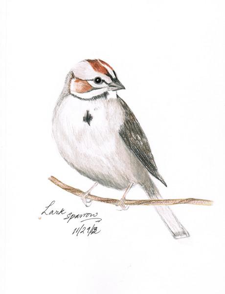 Lark Sparrow - November, 2012