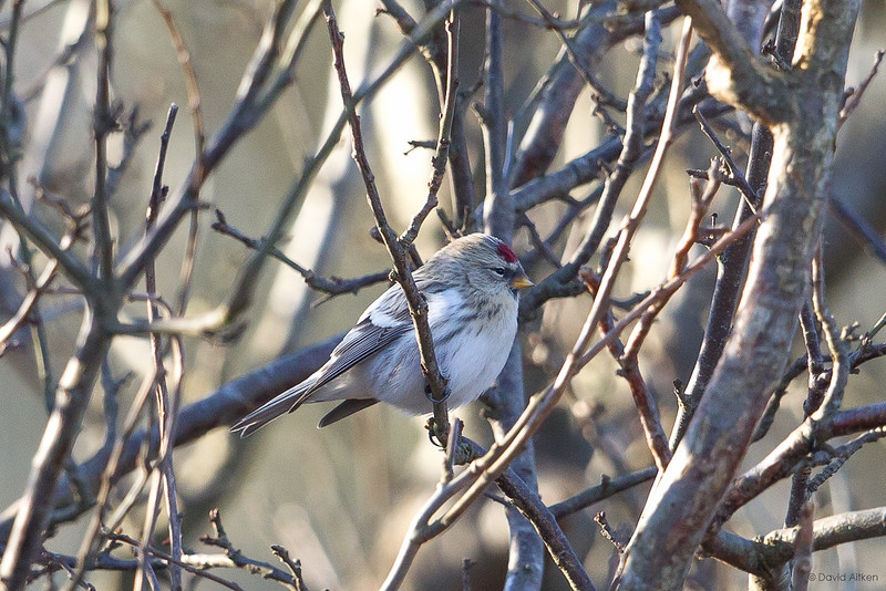 Coues's Arctic Redpoll - Hazlewood Common, Suffolk 09/12/17