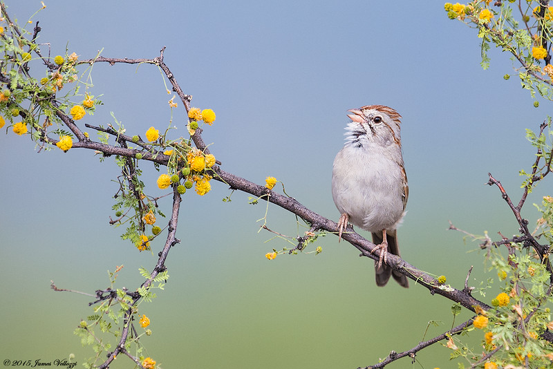 Rufous-crowned Sparrow, Aimophila ruficeps