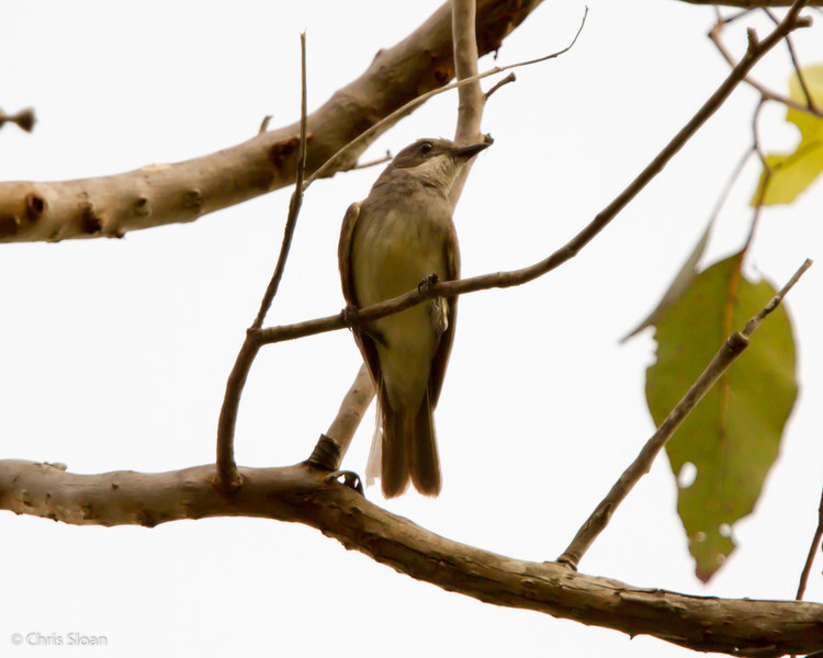 White-bellied Whistler immature male at Varirata National Park, Papua New Guinea (10-14-2013) 019-149.jpg