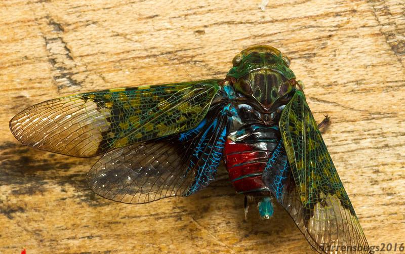 Planthopper (Fulgoridae) from Monteverde, Costa Rica.