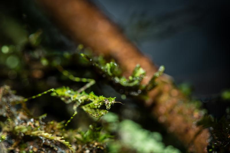 INSECT - tiny praying mantis -1217.jpg