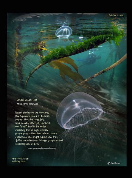 10.11.15 Cross jellyfish L.jpg