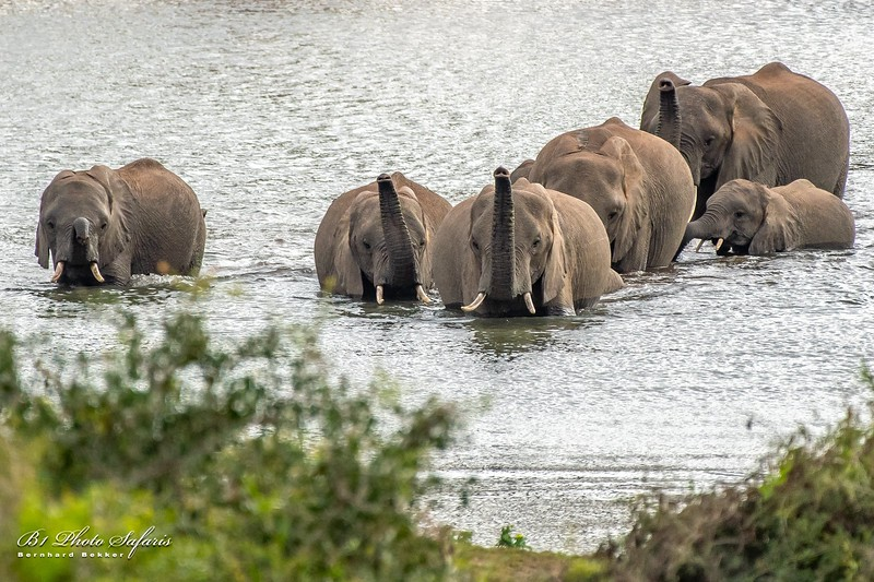 Elephant Herd In Water