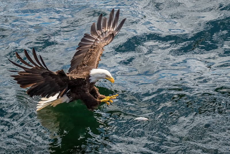 DSC 8085 eagle fishing.jpg