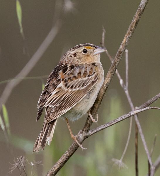 Grasshopper Sparrow Penesquitos Canyon 2019 04 06-1.CR2