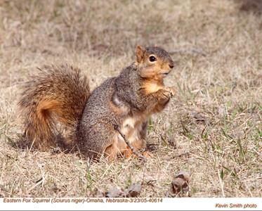 EasternFoxSquirrel40614.jpg