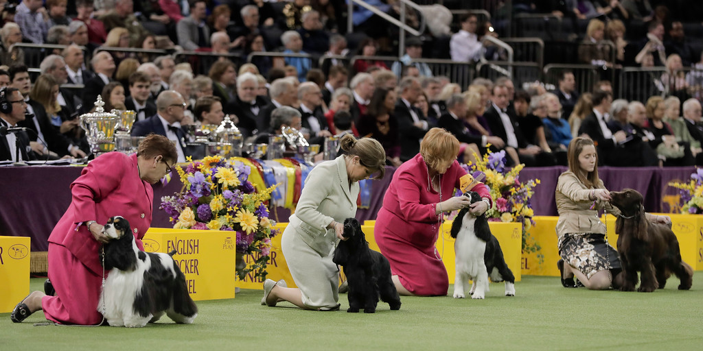 . Handlers present their dogs for one last look by the judge in the sporting group competition during the 141st Westminster Kennel Club Dog Show, Tuesday, Feb. 14, 2017, in New York. (AP Photo/Julie Jacobson)