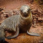 Baby Sea Lion.jpg