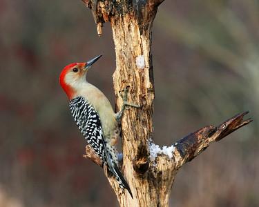 Red- Bellied Woodpecker