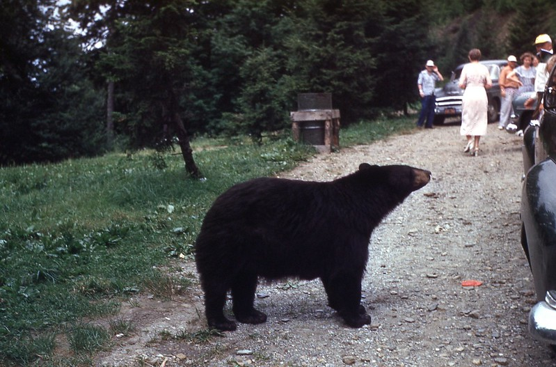 1953 - Bear in Smokies 2.jpg