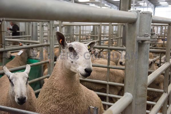 Welshpool multi breed sale  October 2015