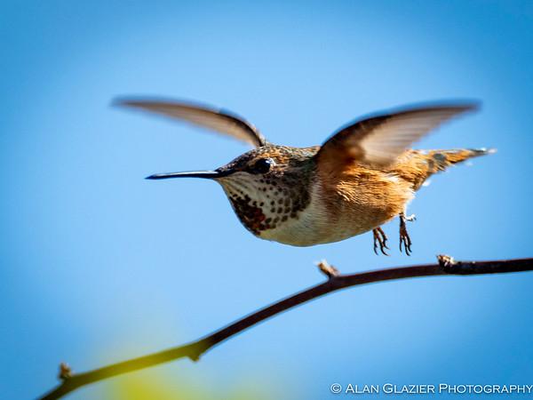 Allen's/Rufous Hummingbirds