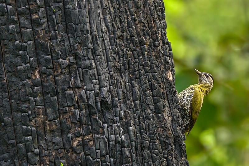 Streak-throated-woodpecker-and-the-tree-trunk.jpg