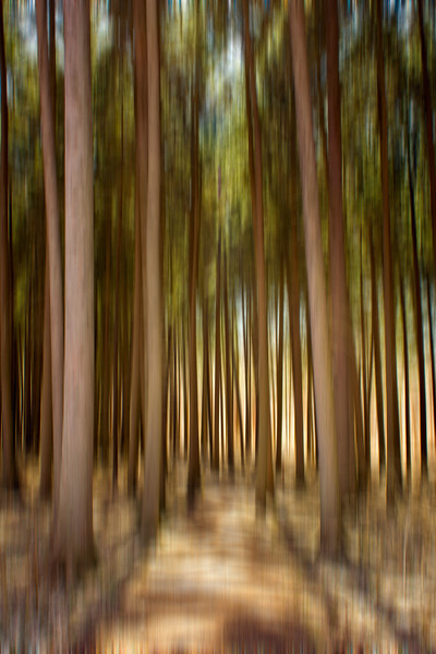 Spruce Forest Wallpaper