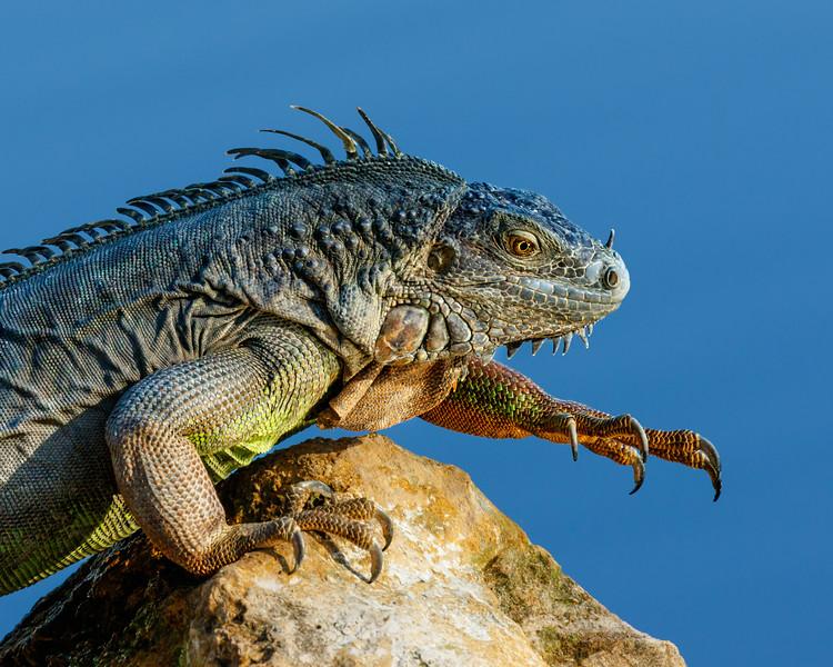 Iguana--2.jpg