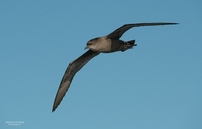 Short-tailed Shearwater, Wollongong Pelagic, Oct .jpg