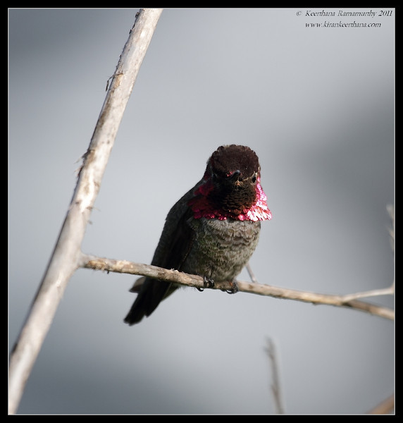 Anna's Hummingbird, La Jolla Cove, San Diego County, California, February 2011