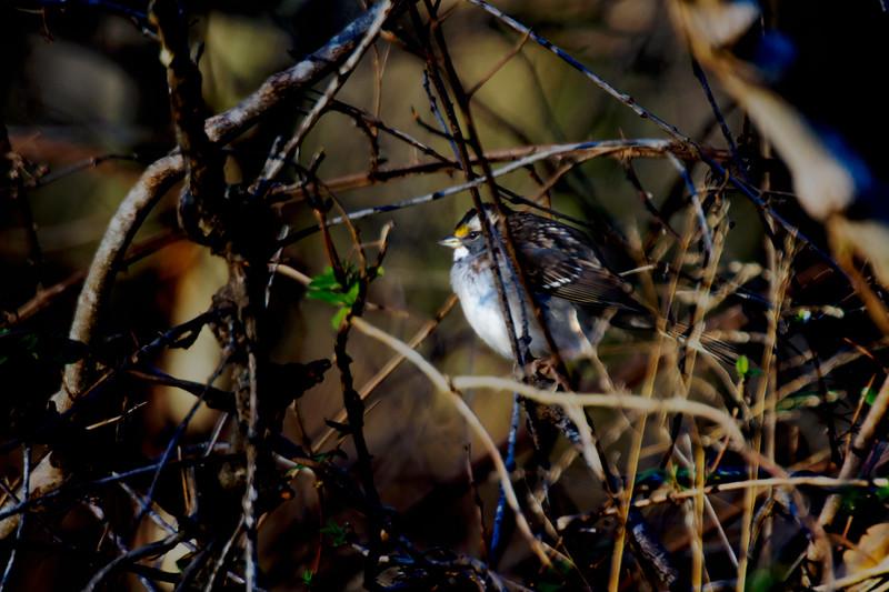 12.9.17 - Prairie Creek Recreation Area: White-Throated Sparrow