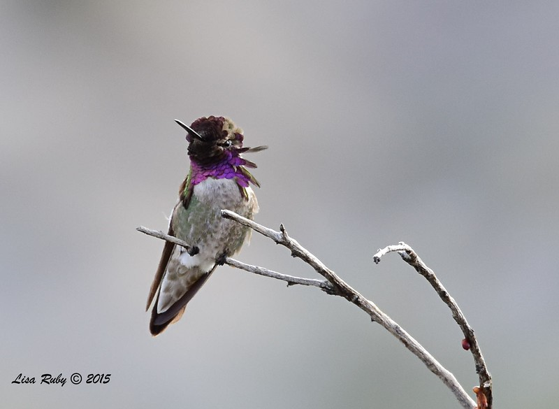 Costa's Hummingbird - 4/5/2015 - Nature Trail, Agua Caliente