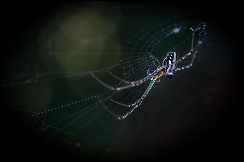 Leucauge granulata making web