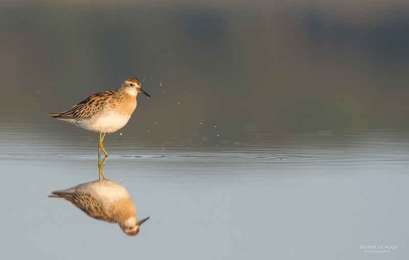 Sharp-tailed Sandpiper, Lake Wolumboola, NSW, Aus, Nov 2013-1.jpg