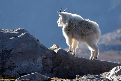 Mountain Goats on Mount Evans - 2015