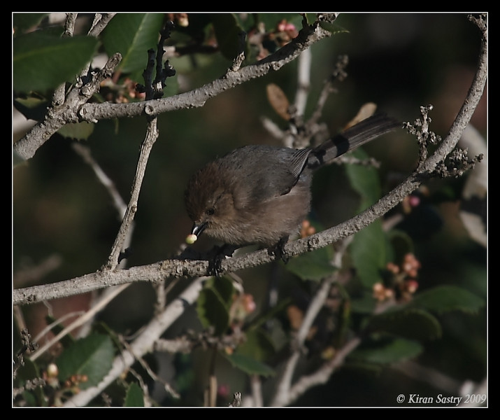 Bushtit, La Jolla Cove, San Diego County, California, February 2009