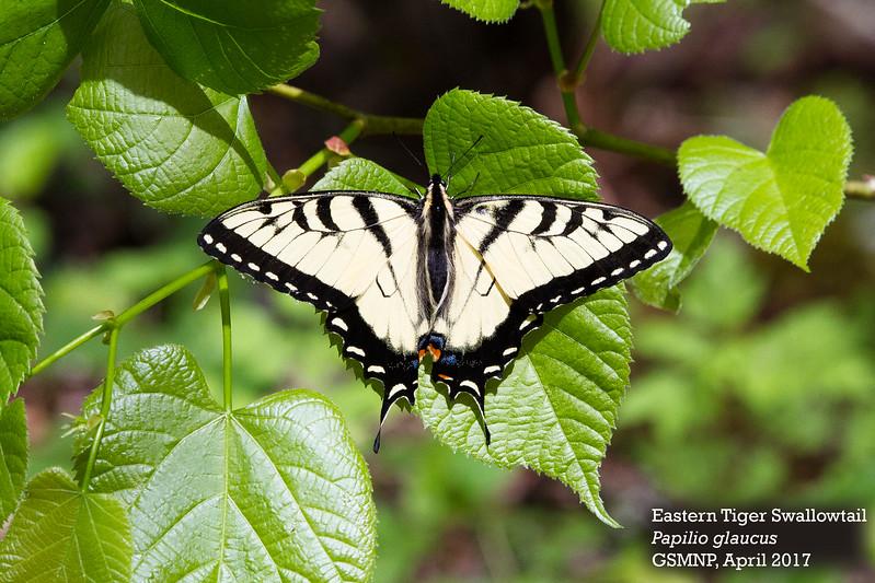 Papilio_glaucus.jpg