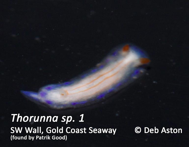 Thorunna sp. 1